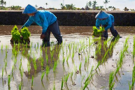 Balinese mannen in strohoed werken hard op terras moerasveld. Boer plant groene zaailingen uit. Cereal crop cultivation. Rijstcultuur als stapelvoedsel voor Indonesische dorpelingen en eilandbewoners van Bali.