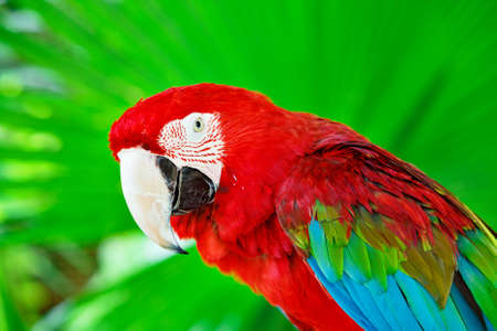 Portrait of colorful scarlet macaw parrot against jungle. Side view of wild ara parrot head in green background.