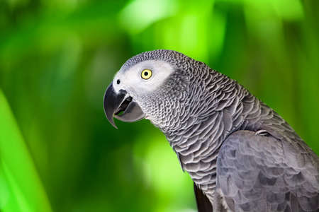 exotic pet: Portrait of African grey parrot against jungle. Side view of wild grey parrot head on green background. Wildlife and rainforest exotic tropical birds as popular pet breeds.