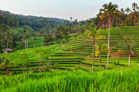 travel backgrounds: Beautiful view of Balinese green rice growing on tropical field terraces. Best scenic Asian backgrounds and landscapes, people culture and nature of Bali and Java islands, travel places in Indonesia Stock Photo