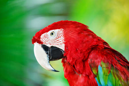 popular: Colorful portrait of Amazon red macaw parrot against jungle. Side view of wild ara parrot head on green background. Wildlife and rainforest exotic tropical birds as popular pet breeds.
