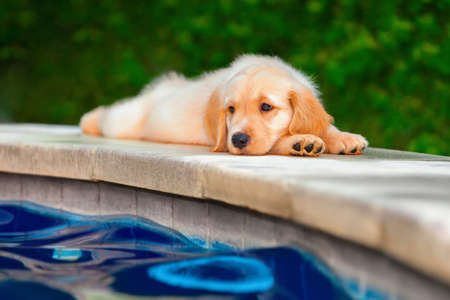 Funny photo of lazy little golden retriever labrador puppy lying stretched on swimming pool side Фото со стока