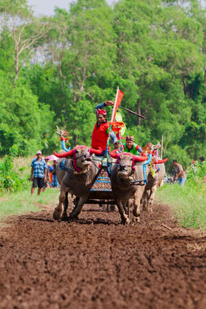 Jembrana, Bali island, Indonesia - 09 October, 2016: Decorated running bulls in action on traditional balinese water buffalo race Makepung. Indonesian people culture, ethnic festivals and events