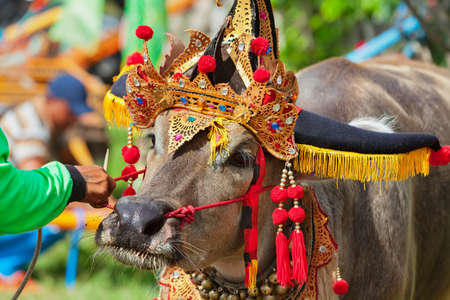 Driver man hold bulls team harnessed in cart on traditional balinese water buffalo race Makepung. Indonesian people culture, Bali ethnic festivals and events