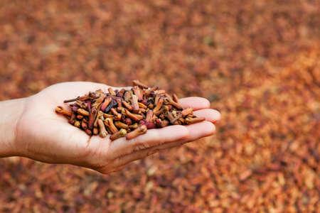 新鮮なクローブ スパイス花の作物のプランテーションで生芽を乾燥の背景に女性の手のひらにヒープに積まれています。熱帯の植物、生産や輸出の 写真素材
