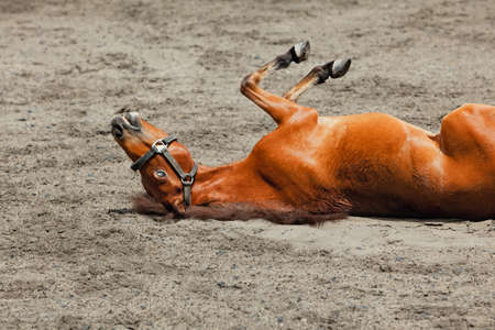 Young brown color horse have fun, rolling on sand field, lying upside down in dust. Hilarious domestic animals, funny pets. Summer outdoor background.