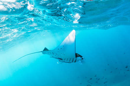 Underwater view of hovering Giant oceanic manta ray ( Manta Birostris ). Watching undersea world during adventure snorkeling tour to Manta Beach in tropical Nusa Penida island, Indonesia. Archivio Fotografico