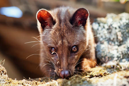 Luwak sitting on temple top - wild Asian palm civet live in forests on Bali island, make most expensive coffee in world. Travels in Asia. Indonesian and Balinese wildlife backgrounds and animals theme Archivio Fotografico