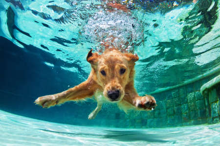 Underwater funny photo of golden labrador retriever puppy in swimming pool play with fun - jumping, diving deep down. Actions, training games with family pets and popular dog breeds on summer vacation Фото со стока - 91732183