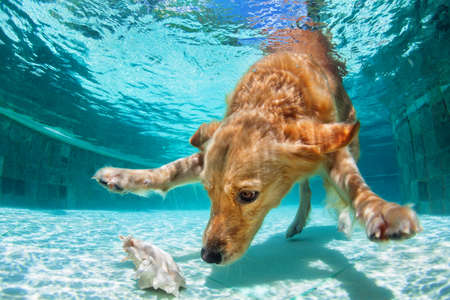 Playful golden labrador retriever puppy in swimming pool has fun. Dog jump, dive underwater to fetch ball. Dog training classes, active games with family pet. Popular breeds activity on summer holiday