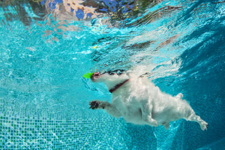 Playful jack russell terrier puppy in swimming pool has fun. Dog jump, dive underwater to fetch ball. Training classes, active games with family pets. Popular canine breeds activity on summer holiday Stock Photo