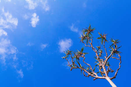 A Pandan tree, also known as a screw pine or pandanus palm. It is tree with trunk supported by aerial brace roots. Growing on ocean tropical beaches. Pandan leaves used as food flavoring and coloring