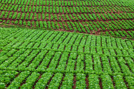 Cabbage field. Cultivated hillside vegetable plantation with growing green plans rows. Garden patches on farmland natural pattern. Agricultural land background with fresh crop.