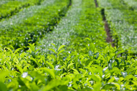 Tea leaves growing on top of shrub knowing as flush. Used to produce best sorts of white, green and black tea. Highland plantation background. Traditional plant cultivating in China, India, Sri Lanka Stock Photo