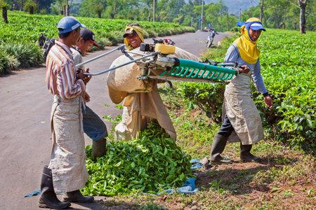 Lawang, Indonesia - July 16, 2018: Indonesian men work hard at highland tea plantation. Farmers picking leaves from green shrubs row by professional pruning machine. Natural tea producing in Wonosari.
