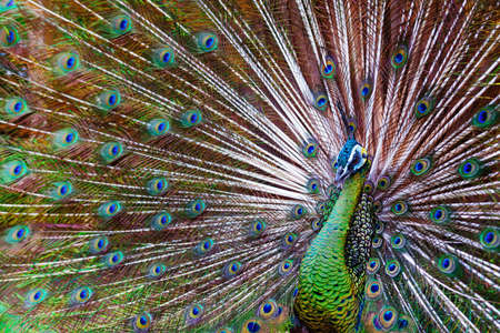Portrait of wild male peacock with fanned colorful train. Green Asiatic peafowl display tail with blue and gold iridescent feather. Natural eyespots plumage pattern, exotic tropical birds background.