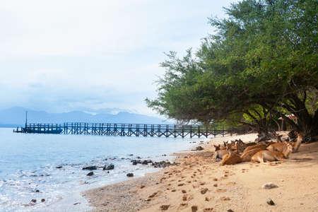 Troupeau de Javan Rusa sous un arbre sur la plage du parc national de l'ouest de Bali Menjangan (île aux cerfs) - destination de voyage populaire pour le safari de plongée sous-marine, l'aventure de plongée en apnée, la randonnée d'observation d'animaux.