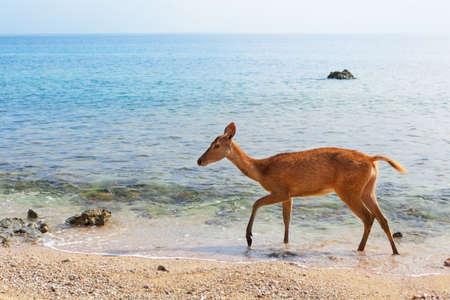 Young fawn of Javan Rusa on beach of Bali west national park and Menjangan ( deer island ) - popular travel destination for scuba diving safari, snorkeling adventure tour, animals sighting trekking. Imagens