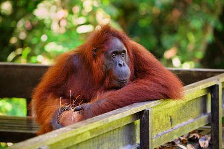 Dziki orangutan borneański w rezerwacie przyrody Semenggoh, Centrum Rehabilitacji Dzikiej Przyrody w Kuching. Orangutany to zagrożone małpy człekokształtne zamieszkujące lasy deszczowe Borneo ( Kalimantan ) w Malezji i Indonezji