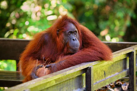 Wild Bornean orangutan at Semenggoh Nature Reserve, Wildlife Rehabilitation Centre in Kuching. Orangutans are endangered apes inhabiting rainforests of Borneo ( Kalimantan ) in Malaysia and Indonesia