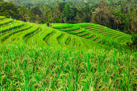 Beautiful view of Balinese green rice growing on tropical field terraces. Best scenic Asian background and landscapes, people culture and nature of Bali island. Popular travel destination in Indonesia
