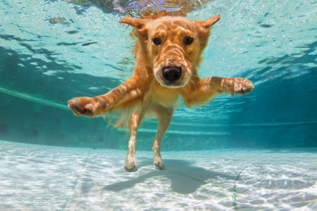 Underwater funny photo of golden labrador retriever puppy in swimming pool play with fun - jump, dive deep down. Activities, training classes with family pets. Popular dog breeds on summer vacation