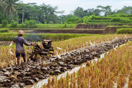 Indonesian farmer man ploughing by two-wheel tractor terraced rice field. Traditional rice plantations, agriculture in Bali, Java island villages.