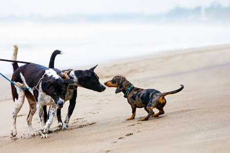 Photo of dachshund puppy knowns as badger dog walking by sand beach. Funny dog run along sea surf. Actions, training games with family pets and popular dog breeds on summer vacation Foto de archivo