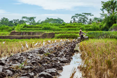 Ubud, Bali island, Indonesia - March 25, 2017: Indonesian farmer man ploughing by two-wheel tractor terraced rice field. Traditional rice plantations, agriculture in Balinese villages.