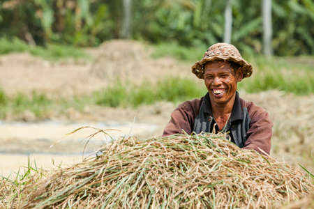 Ubud, Bali island, Indonesia - March 25, 2017: Indonesian farmer man harvesting, winnowing rice grains in terraced rice field. Traditional rice plantations, agriculture in Balinese villages.