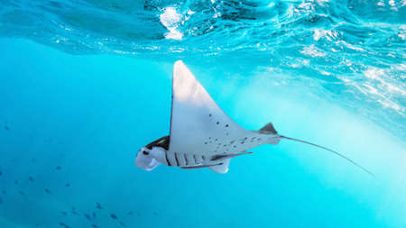 Underwater view of hovering Giant oceanic manta ray ( Manta Birostris ). Watching undersea world during adventure snorkeling tour to Manta Beach in tropical Nusa Penida island, Indonesia. Foto de archivo