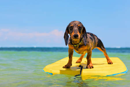 Funny surfer dog have fun riding on body-board on sea waves.