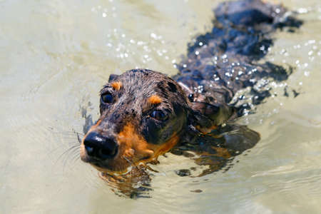 Photo of dachshund puppy knowns as badger dog on sea beach. Funny dog swim in water. Foto de archivo