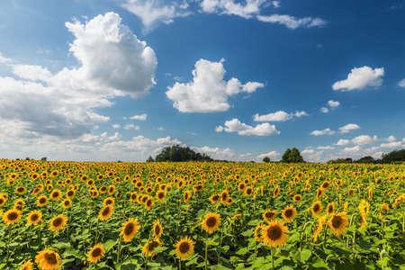 Sunflower field in a beautifull scenery . photo