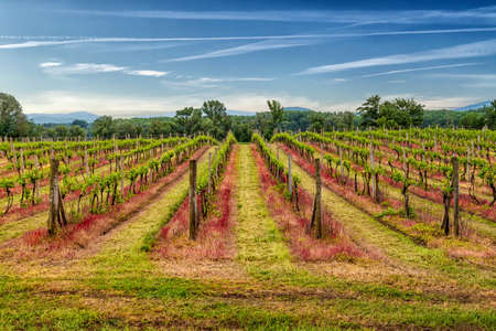 Tokaj vineyard in beautiful landscape scenery.