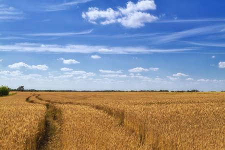 wheatfield: A pathway to begin crop of barley field in beautiful scenery.