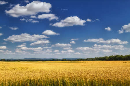 maturing: Maturing of barley field in beautiful sky and clouds scenery.