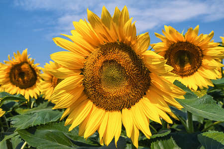 closer: A closer look at sunflowers. Stock Photo
