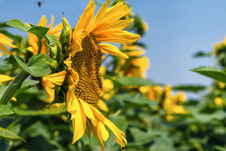 side  profile: Side profile of sunflower . Stock Photo