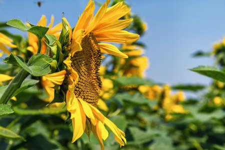 side profile: Side profile of sunflower . Stock Photo