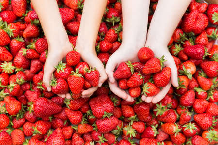farm girl: Red ripe fresh strawberries in kids hands on strawberry background. Stock Photo