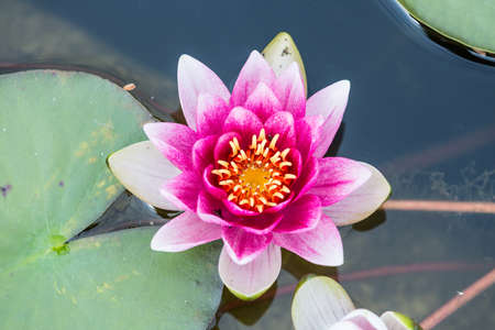 Top view of beautiful pink water lily . Foto de archivo