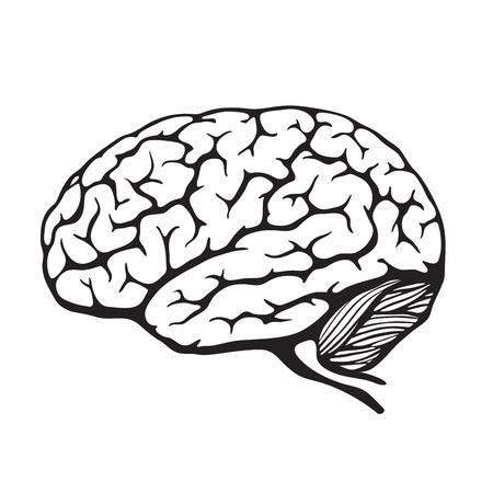 cerebro blanco y negro: Cerebro humano. Ilustración vectorial Vectores