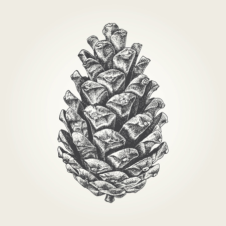 Hand drawn pine cone vintage vector illustration