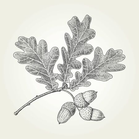 Oak leaves and acorns drawing. Vintage vector engraved illustration