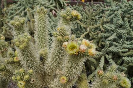 cholla: Cholla Cactus Blooms