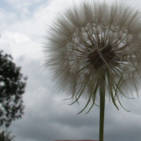 Dandelions in the spring Stock fotó