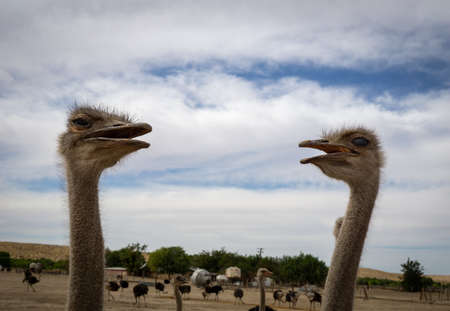 Pair of ostriches on a sunny afternoon Stockfoto