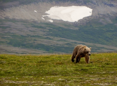 Grizzly bear running across the tundra
