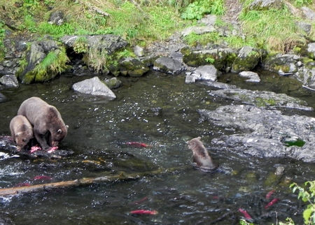 Grizzly bear and cubs catching and eating wild salmon